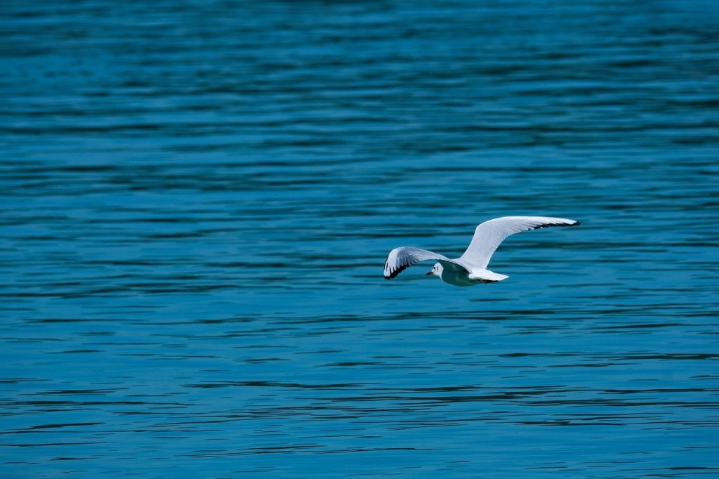seagull, flying, lake